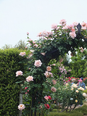 160508_rose28_kao