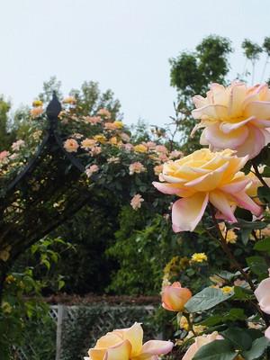 160508_rose35