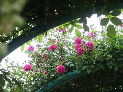 160508_rose41