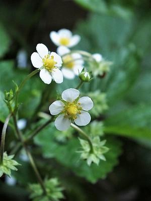 170522wild_strawberry_flower1