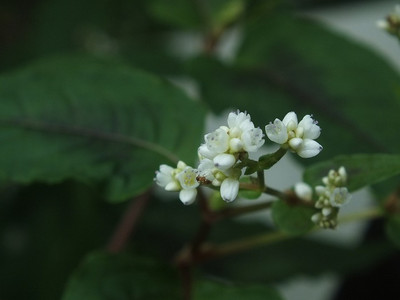 170822persicaria_microcephala_red_3