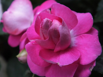 180523california_rose_fiesta1