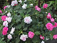 180619california_rose_fiesta1