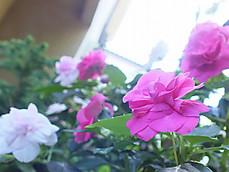 180619california_rose_fiesta5